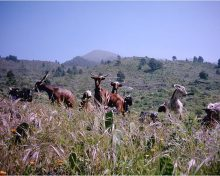 La inseminación artificial (I.A.) como herramienta de mejora en los Programas de selección y mejora genética del caprino español: La Cabra Palmera