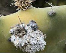 La cochinilla mejicana | Crónicas del Campo