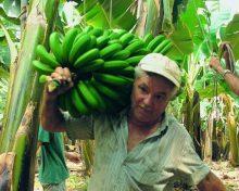 Los plataneros canarios destruyen un millón de kilos de la fruta recolectada durante esta semana