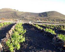 El cultivo de la vid retrocede en el sur de La Palma y crece en el norte | Diario de Avisos