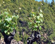 La producción vitivinícola transforma el paisaje de la Isla – Diario de Avisos