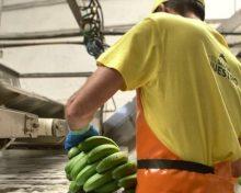 """Los productores europeos de plátano defienden las ayudas """"de todo el sector primario"""" de las Regiones Ultraperiféricas"""
