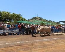 Un total de 25 yuntas participan en el XXI Concurso Insular de Arrastre La Palma
