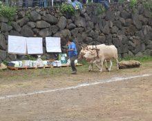 Primera Prueba de la nueva temporada de Arrastre celebrada en San Isidro, Breña Alta.