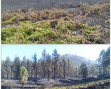 El Gobierno de Canarias tramitará ayudas por valor de 600.000 euros para paliar los efectos del incendio de La Palma en explotaciones agrarias