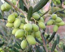 El Gobierno de Canarias convoca el Concurso de Aceite de Oliva Virgen Extra Agrocanarias 2019, que se celebrará en El Hierro