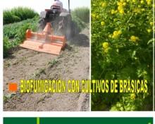 Biofumigación con cultivos de brásicas (mostaza, rábano y col)