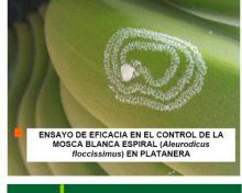 Ensayo de eficacia en el control de la mosca blanca espiral (Aleurodicus floccissimus) en platanera | Agrocabildo