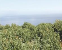 Rentabilidad del cultivo de aguacate en Canarias (Agrocabildo 2015)