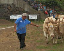 Los Llanos acoge este sábado la Gran Final del Concurso Insular de Arrastre de Ganado
