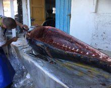 Ronqueo de un atún rojo de 261 kg en Restaurante El Jardín de la Sal