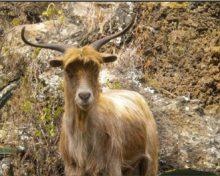 El ganado asilvestrado y los espacios naturales protegidos de La Palma