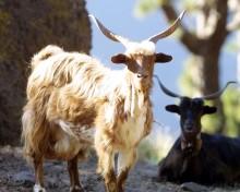 El Gobierno de Canarias concede subvenciones a las razas ganaderas autóctonas por importe de casi 200.000 euros