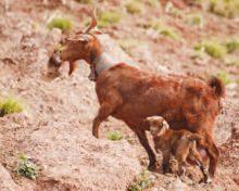Asociación de Criadores de Cabra de Raza Palmera (A.C.C.R.P.) Radiografía (II)