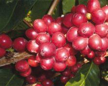 """El proyecto """"Revalorización del cultivo de café en La Palma"""""""
