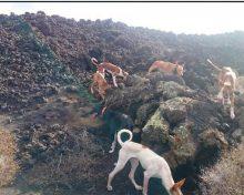 La enfermedad hemorrágica del conejo: el declive de una especie de caza menor