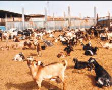 El campo, sin misterios. Las cabras se disparan, los pastores, a menos. Falta la vara que dé con la solución