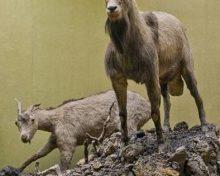 Presentación en Tenerife del libro 'Del color de los riscos' dedicado a las cabras salvajes de La Palma | La Palma Ahora