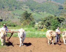 La Palma busca salvar el cultivo del cereal con un plan de recuperación – El Apurón