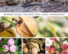 Pulgón negro de la madera | Agrocabildo