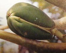 Caracterización de nuevos cultivares de papaya (III)