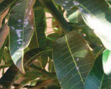 El oidio del mango