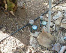 Manejo del riego de la platanera durante los meses de invierno