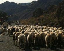 Breve reseña sobre la Oveja Canaria de Lana