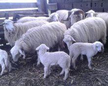 El Gobierno de Canarias protege a la oveja de raza palmera en peligro de extinción