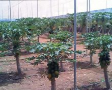 Caracterización de nuevos cultivares de papaya (I)