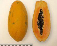 Caracterización de nuevos cultivares de papaya (II)