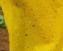 Control de la mosca blanca | Cocampa