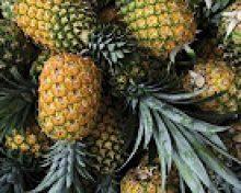 Cultivo de la piña tropical en el Valle de Aridane