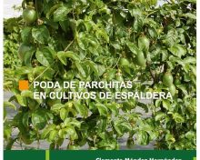 Poda de parchitas en cultivos de espaldera | Agrocabildo