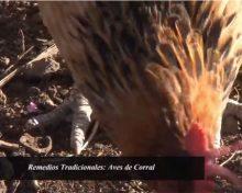 Remedios Tradicionales de las Aves de Corral   Crónicas del Campo