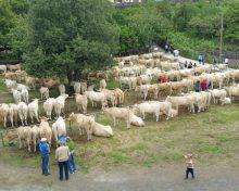 Crece un 20% la participación en la Feria de Ganado de la Villa de Breña Alta