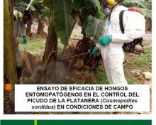 Ensayo de eficacia de hongos entomopatógenos en el control del picudo de la platanera (Cosmopolites sordidus) en condiciones de campo | AgroCabildo