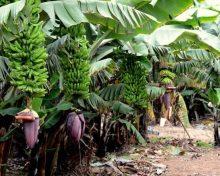 ¿Hay vida en el campo más allá del plátano? | El Día