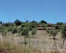 El Gobierno de Canarias convoca las ayudas por superficie a los productores de aceituna y aloe vera