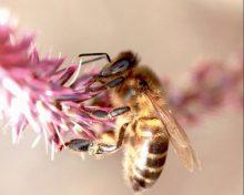 La abeja negra canaria