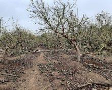 Recomendaciones para el aguacate después de los daños causados por el temporal reciente: