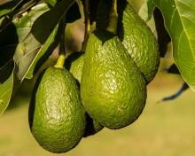 La crisis por el virus abre el mercado del aguacate para la elaboración de guacamole | Cadena Ser