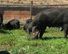 Ayuda para la producción de reproductores de porcino en Canarias