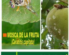 Mosca de la fruta (Ceratitis capitata) | Agrocabildo