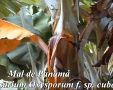 COPLACA transmite: Fusarium TR4 | Crónicas de Campo