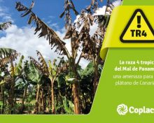 La raza 4 Tropical del Mal de Panamá: una amenaza para el plátano de Canarias | Agrocabildo