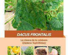 Dacus frontalis, la mosca de la calabaza