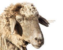 Hasta tres razas de oveja, de lana o de pelo, y son todas autóctonas | Pellagofio