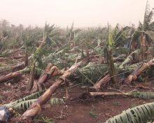Recomendaciones para la platanera después de los daños causados por el temporal reciente: