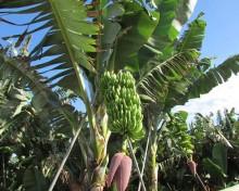 Ayuda a los productores de plátano IGP